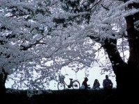 Tips for cherry blossom viewing in Japan
