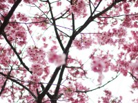 Cherry Blossom Forecast for Spring 2013